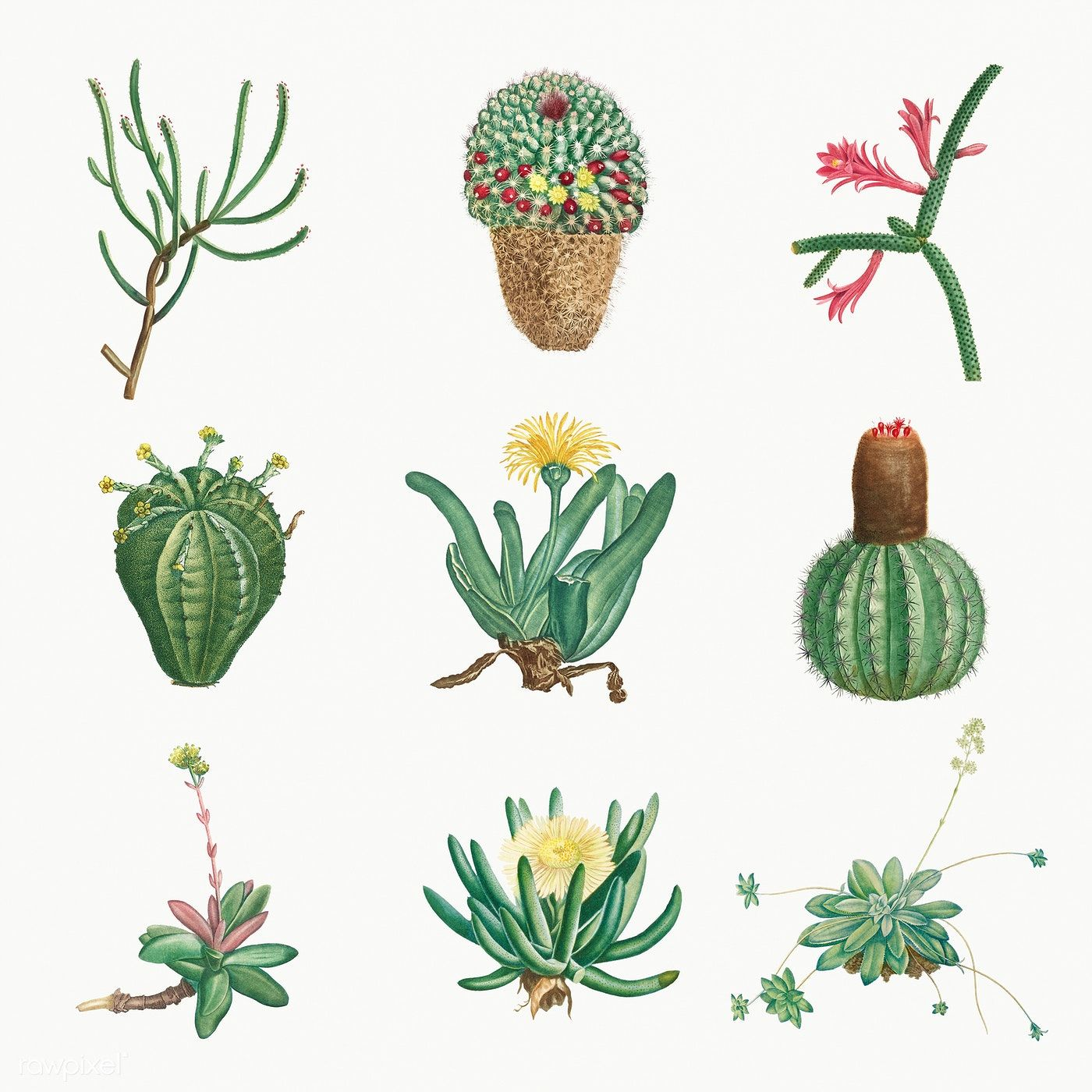 Download premium illustration of Set of succulents and