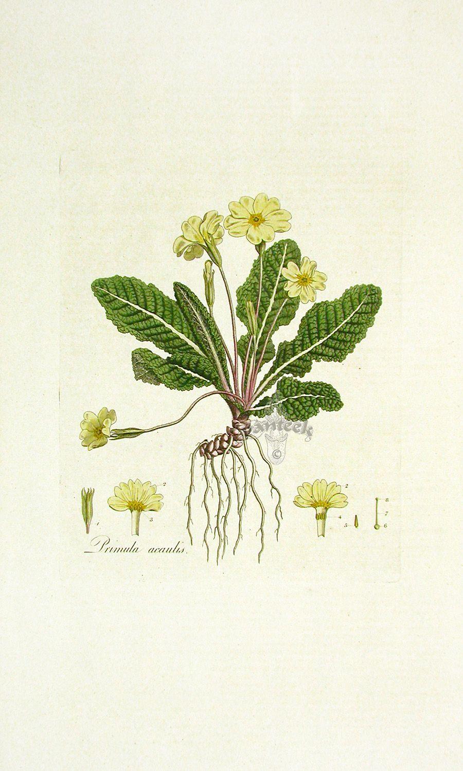 Primrose Botanical Print Primula Vulgaris