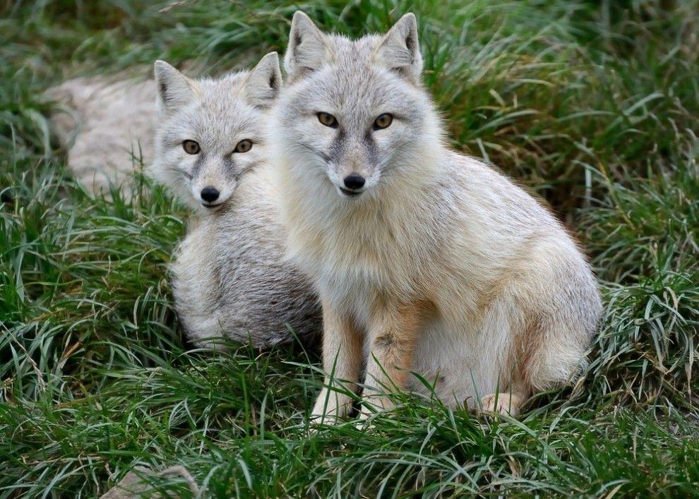 7 Strange and Beautiful Fox Species Fox species, Animals