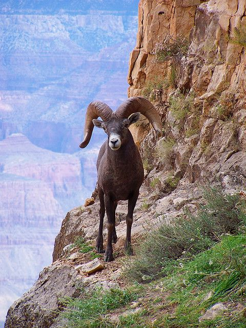 Big Horn Sheep North american animals, Big horn sheep, Sheep