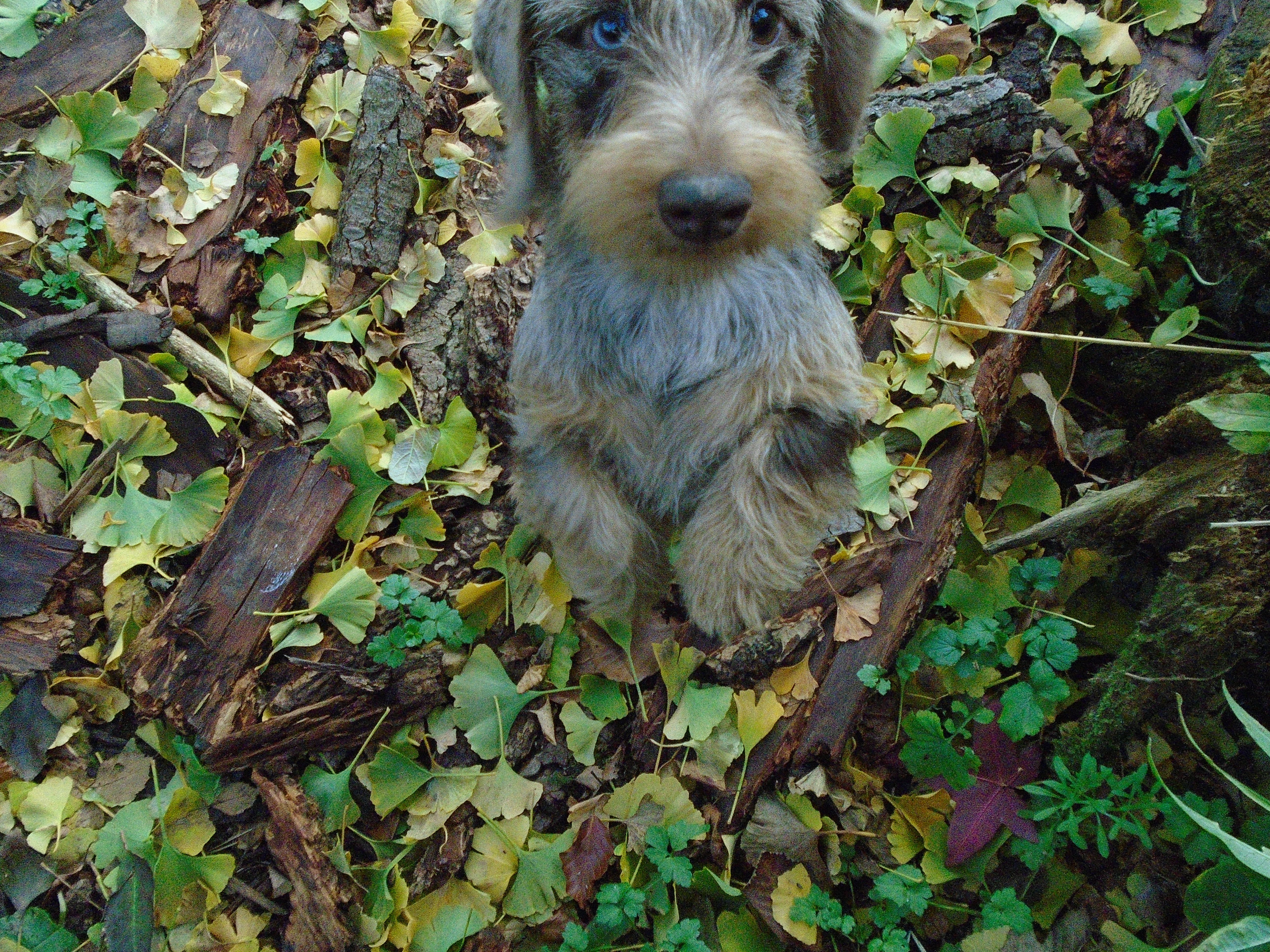 Irbis Our Rabbit Sized Wire Haired Dachshund Puppy From Russia