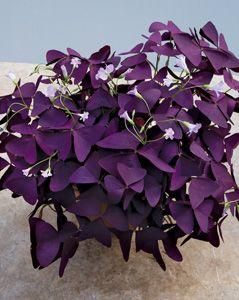 Purple shamrock plant oxalis regnellii 39 francis 39 bright purple triangular shaped leaves and - Shamrock indoor plant ...