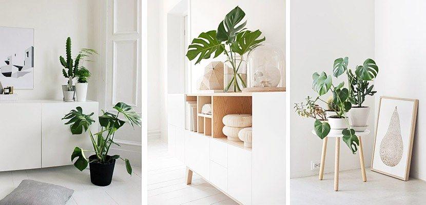 Plantas de interior: Monstera deliciosa