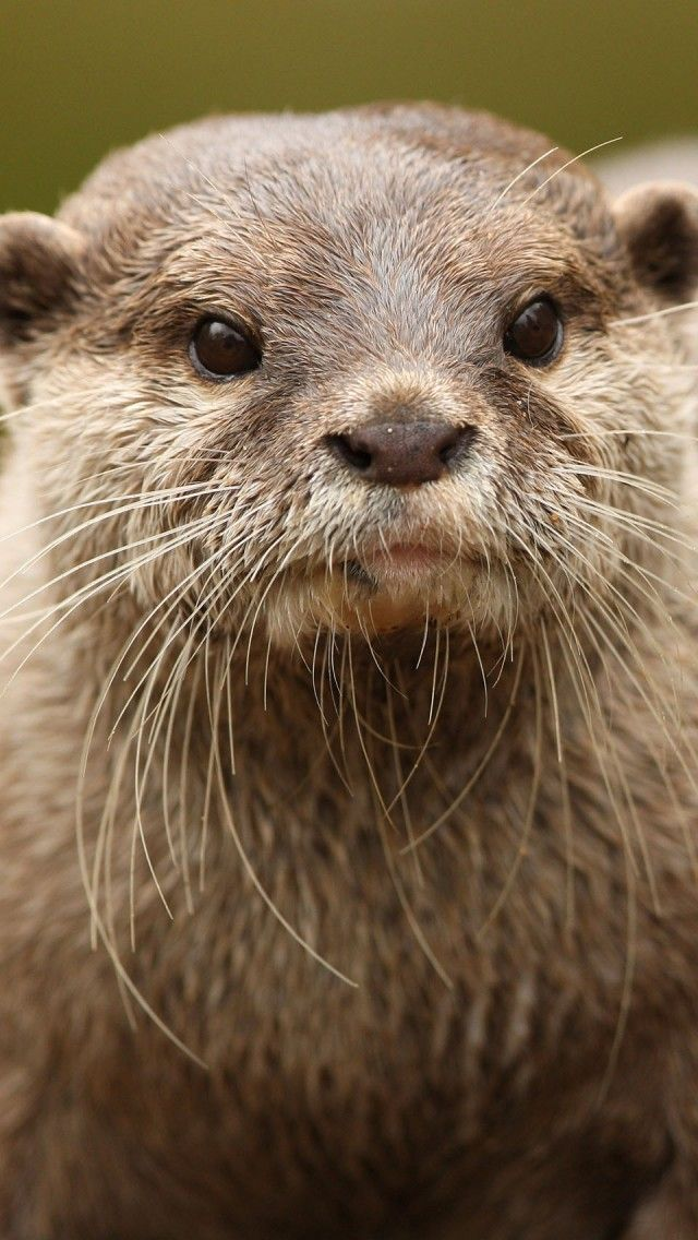 Otter Portrait Iphone 5 Wallpapers Backgrounds 640 X 1136