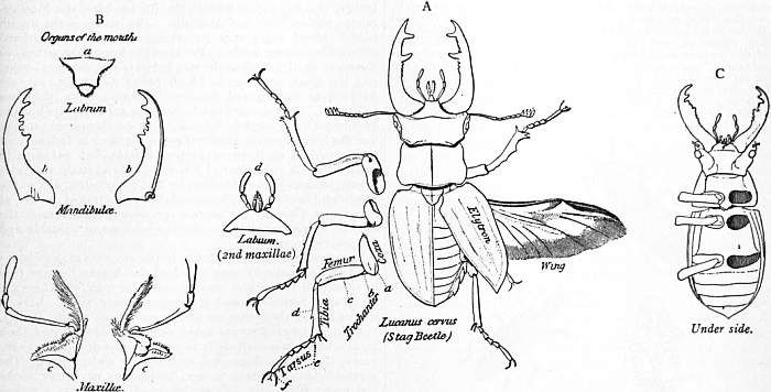 beetle anatomy - Google Search | Referensi | Pinterest