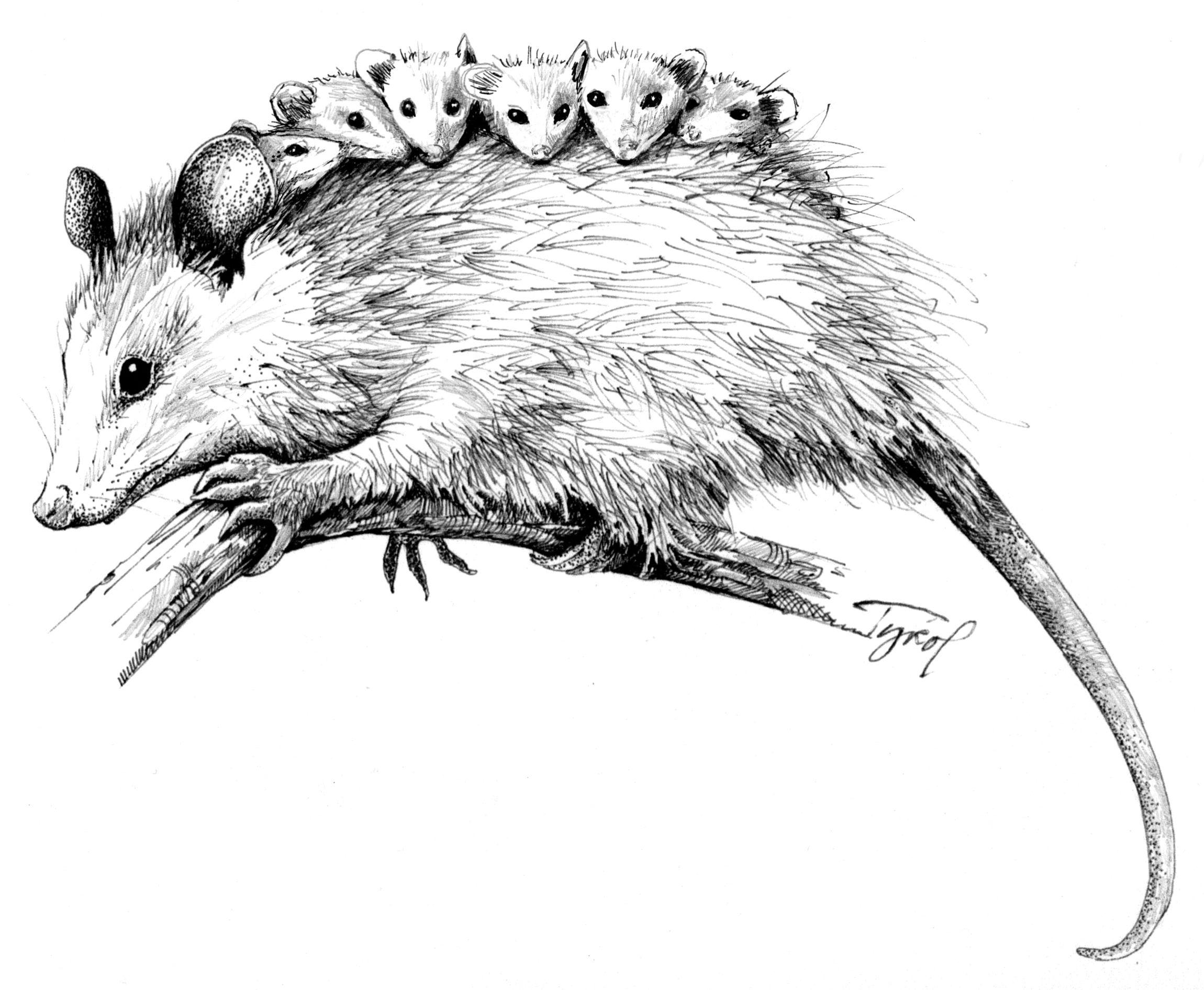 How To Draw A Possum