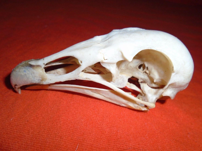 Genuine Vulture Skull / Texas Vulture Skull / BuZZard SKuLL / Bird ...