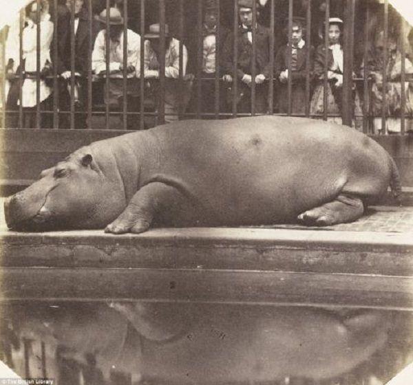 el primer hipoptamo en europa desde tiempos de los romanos zoo de londres