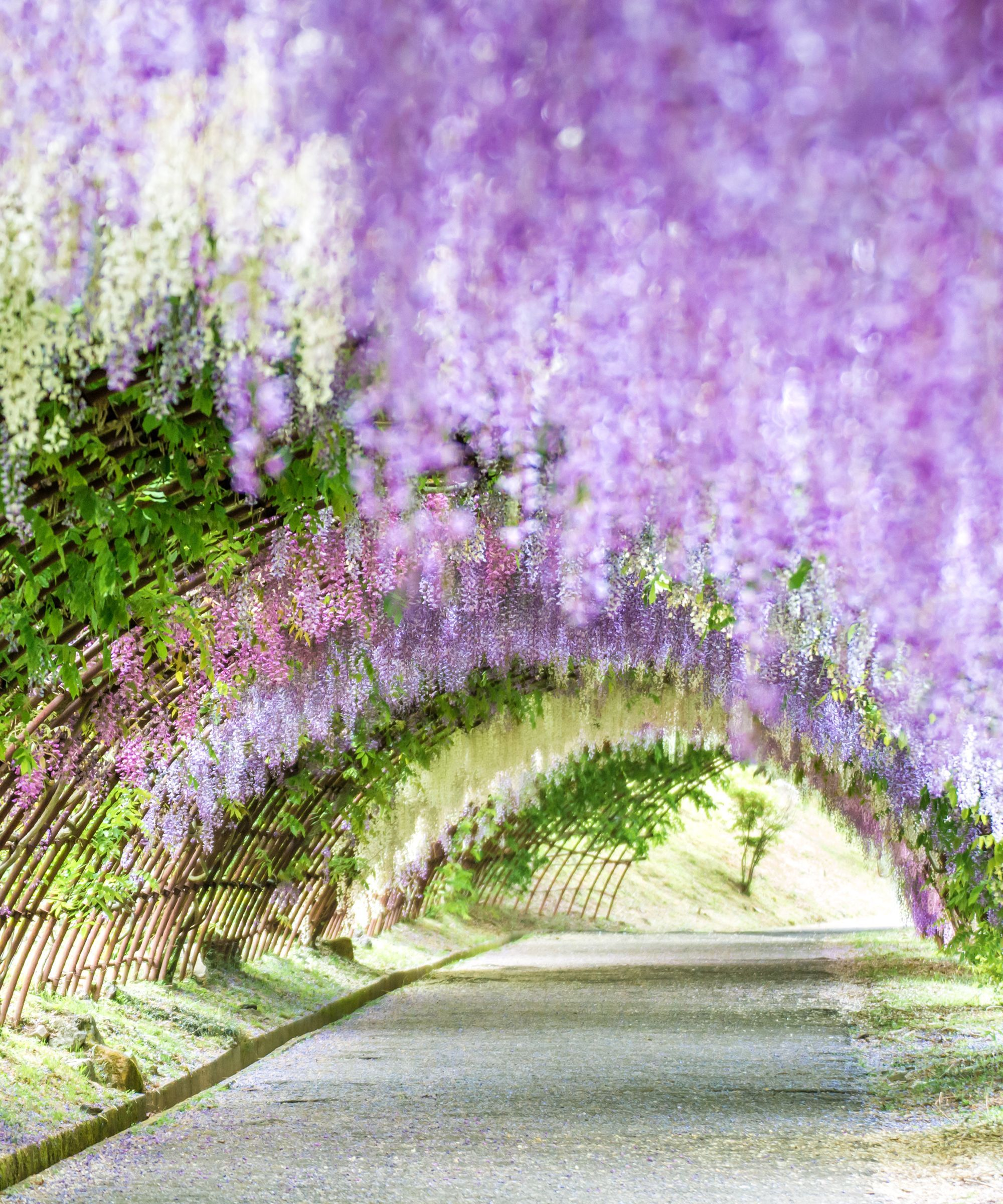 Forget Cherry Blossoms Japan S Wisteria Gardens Are A Technicolor Must See Wisteria Garden Japan Flower Garden Cherry Blossom Japan