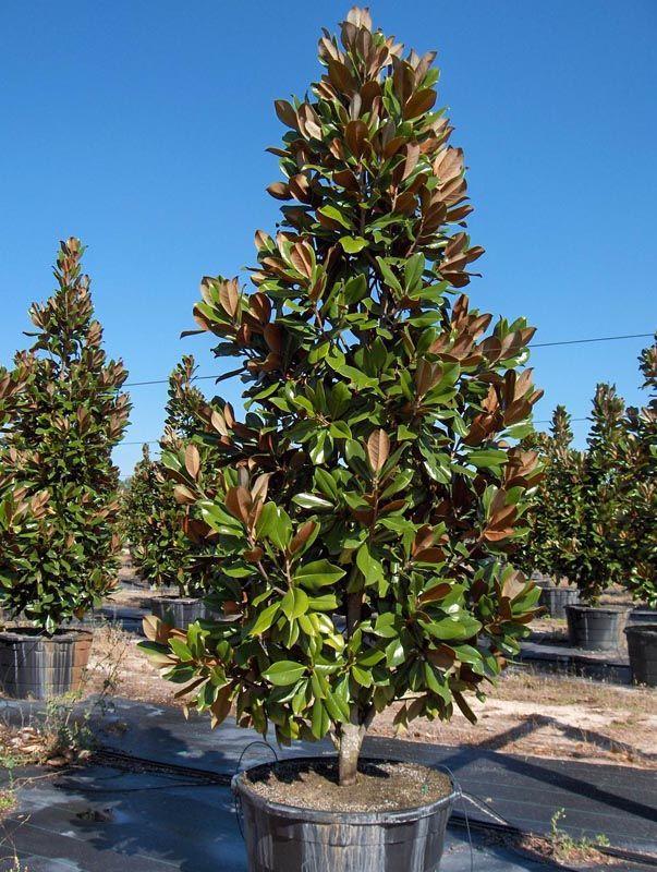 Dd Blanchard Magnolia Dallas Texas Treeland Nursery Best