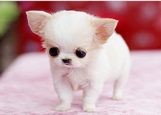 Only Teacup Dog Teacup Size Baby Animals Pictures Cute Animals