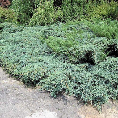 Juniperus Squamata Blue Carpet Jeune Plante En Godet Genevrier Blue Carpet Est Un Conifere Nain Et Tapissant Feuillage Feuillage Jardins Plante