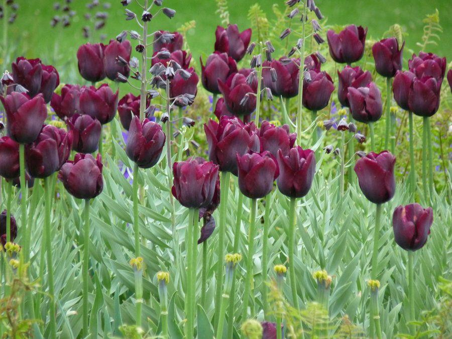 dark tulips by Dieff