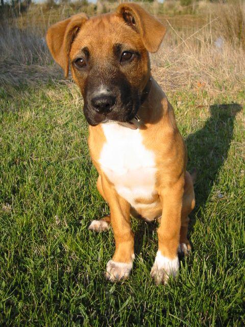 Rhodesian Ridgeback Mix Dogsandpupsdaily What Dogs Staffordshire Bull Terrier Rhodesian Ridgeback