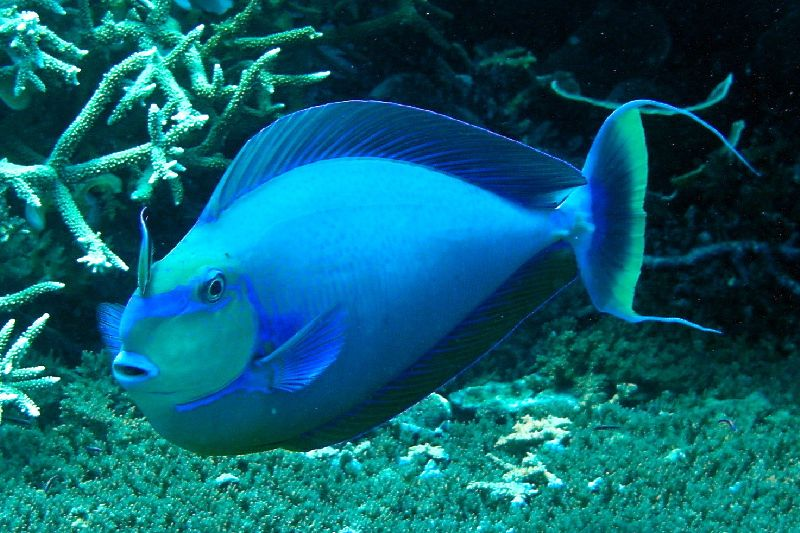 Image detail for Unicorn Fish Under the deep blue