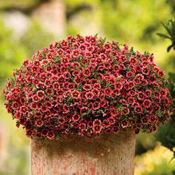 Calibrachoa -- Superbells Coralberry Punch (annual)