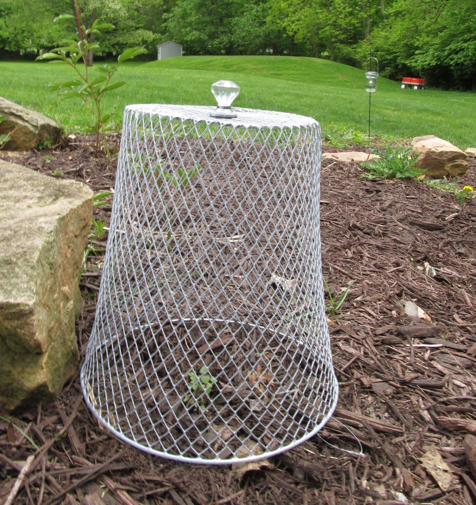 Garden Cloche Dollar Store Diy How To Keep Pests Away From Young