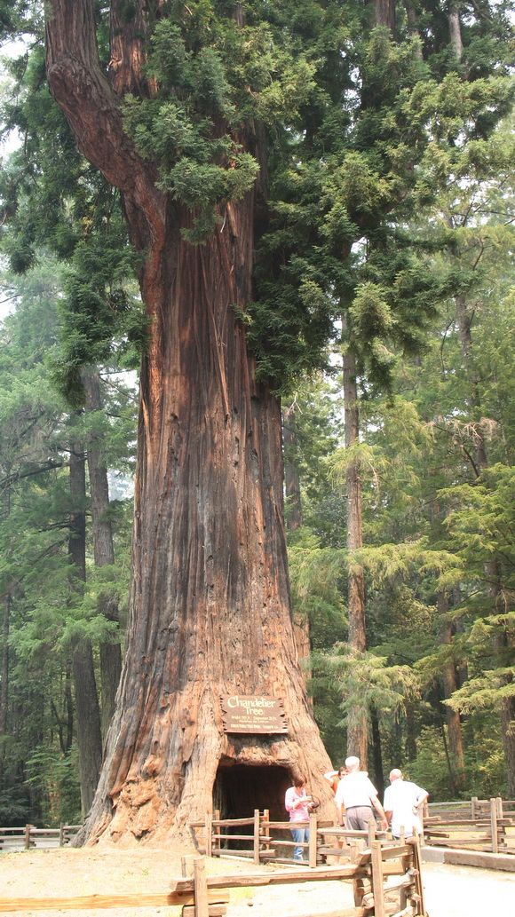 The chandelier tree in drive thru tree park is a 315 foot 96 metre the chandelier tree in drive thru tree park is a 315 foot 96 metre tall coast redwood tree in leggett california with a 6 ft 183 m wide by 6 ft 9 aloadofball Choice Image