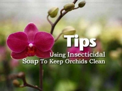 Tips: Using Insecticidal Soap To Keep Orchids Clean