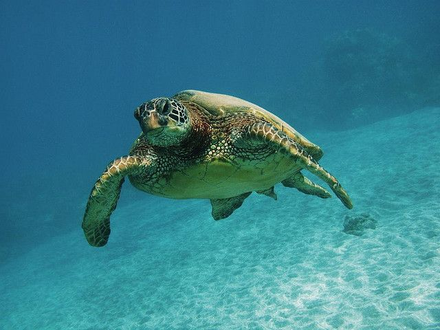 Curious Green Sea Turtle  -  by bluewavechris