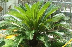 Palm Bushes Types Bing Images Sago Palm California Plants