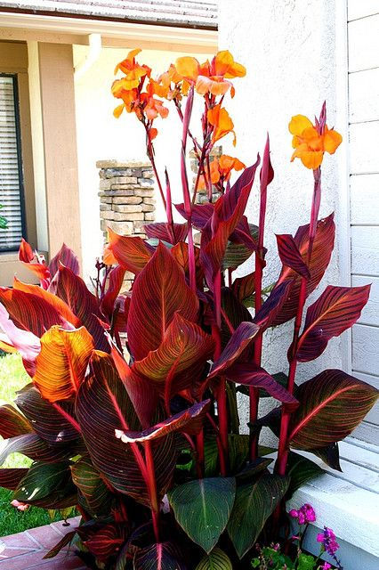 Canna Tropicana | Tropical landscaping, Plants, Tropical ...