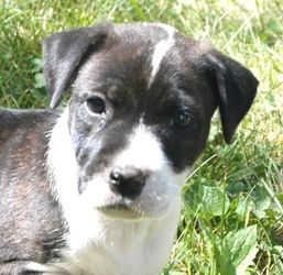 Adopt Carrie On Dogs Of Interest Boxer Dogs Dogs 7 Week Old Baby