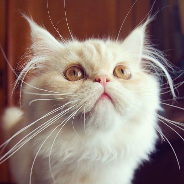 Juny cats #chat kitten ginger cute