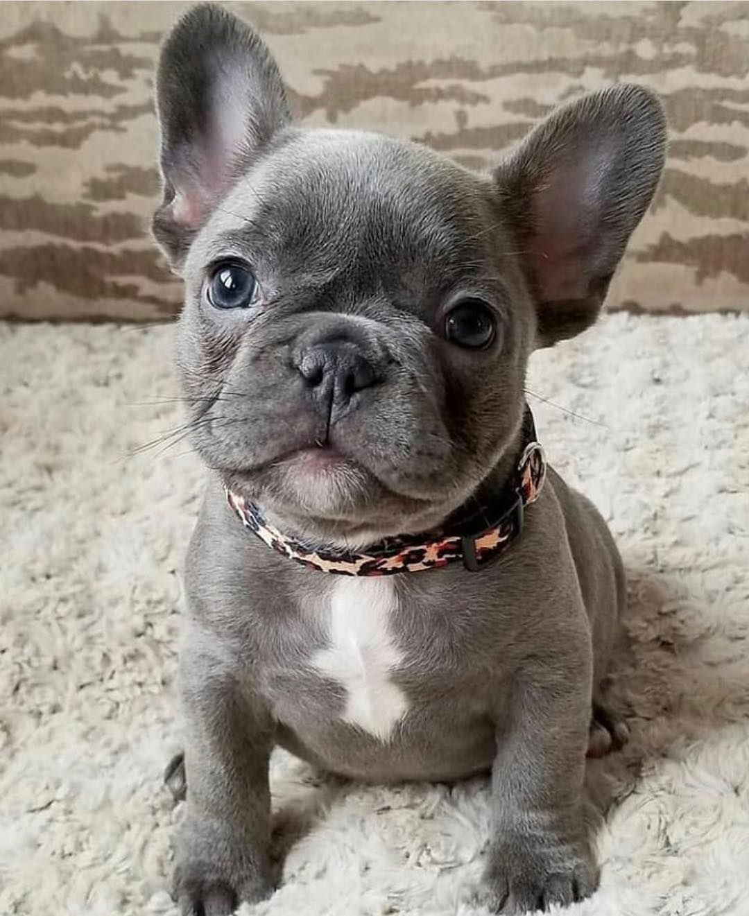 We Re Waiting For This Little Guy To Come Into Our Life One Day I Can T Take It He S Sooooo French Bulldog Puppies Cute Dogs Blue French Bulldog Puppies