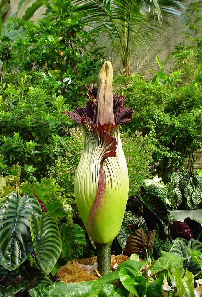Amorphophallus Titanum Unusual Plants Unique Plants Carnivorous Plants