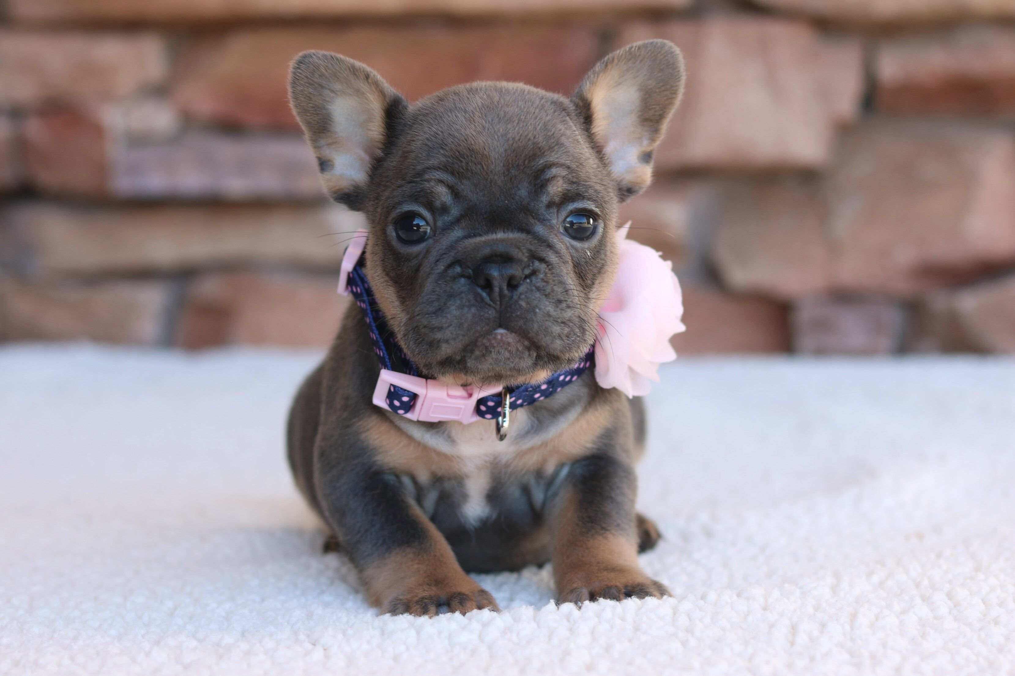 Blue And Tan Frenchie French Bulldog Cute French Bulldog Bulldog