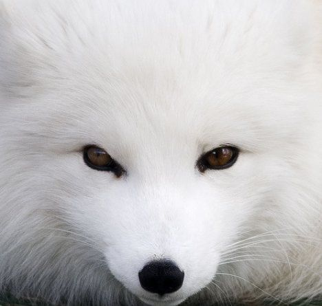 Winter Arctic Fox Habitat