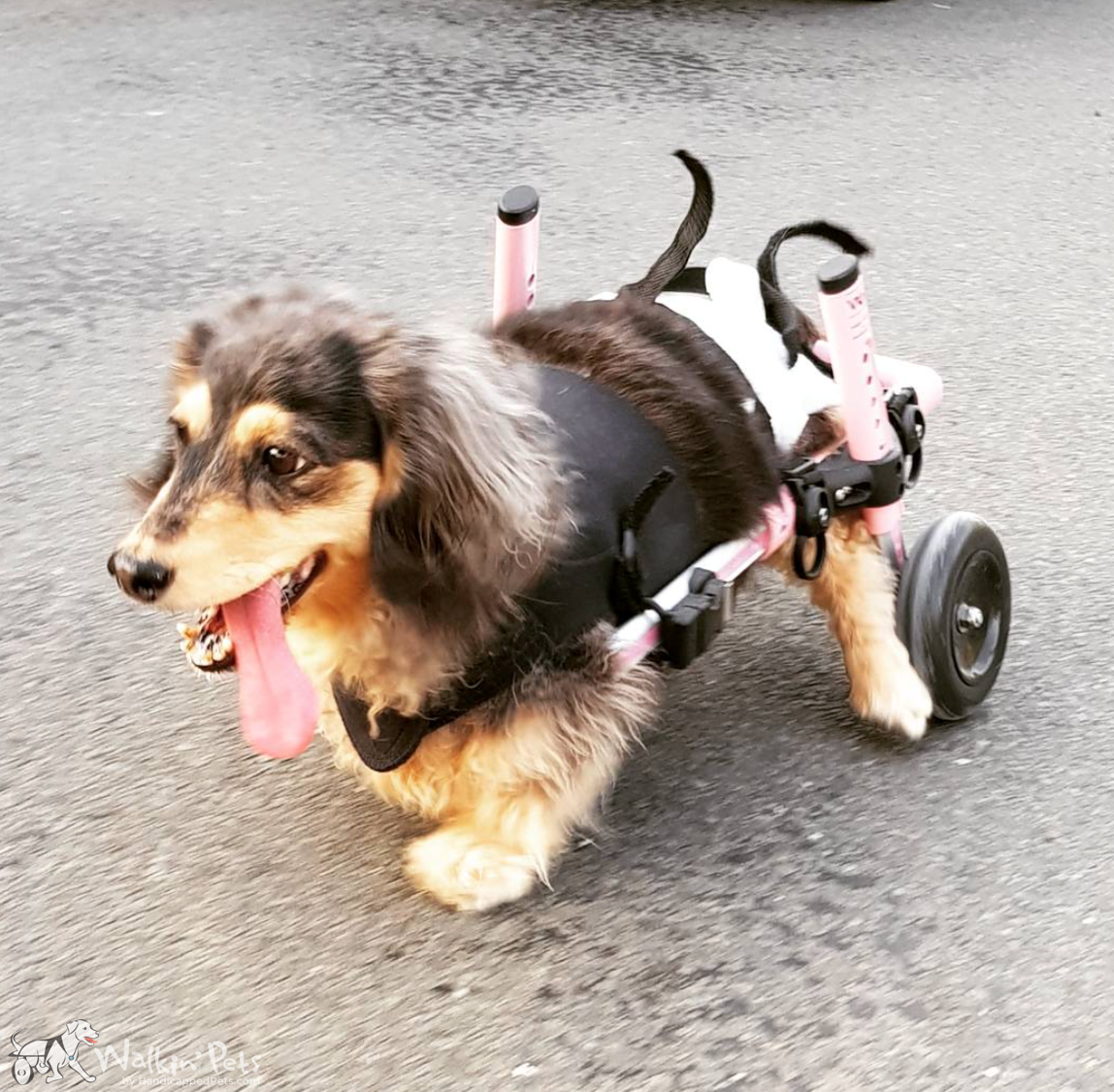 Dog Wheelchairs for Dachshunds & Other Small Dogs Dog
