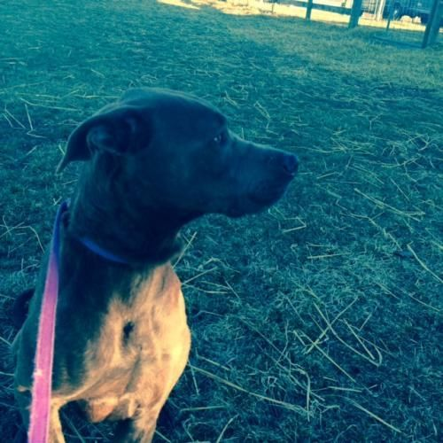 Meet Carter, a Petfinder adoptable Weimaraner Dog | Columbia, MD | Gentle Weimaraner/ Lab mix boy!Hi! I'm Carter. I am 2 years old and weigh 70 pounds. I am a nice...