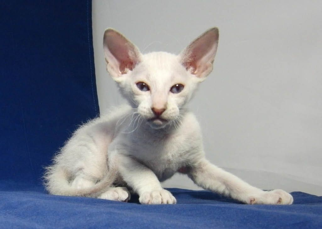One-month-old brush-coated male Peterbald kitten