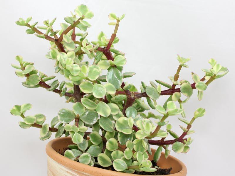 Pourpier En Arbre Mit Bildern Sukkulenten Pflanzen Pflanzen