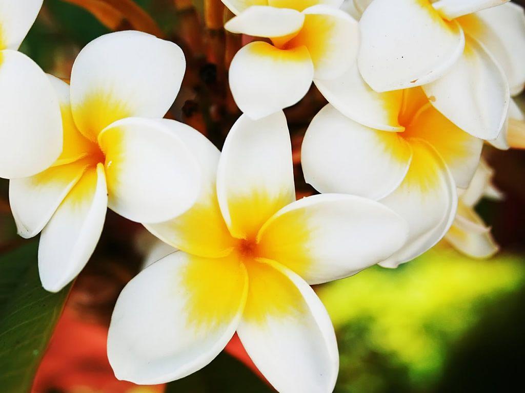 Pictures of hawaiian flowers hawaiian flower wallpaper 1024x768 pictures of hawaiian flowers hawaiian flower wallpaper 1024x768 izmirmasajfo