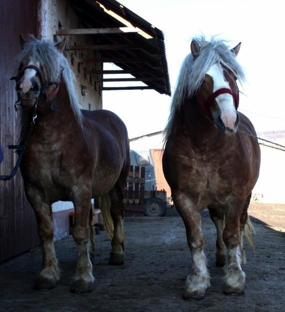 Semigreu Romanesc | Draft Horses | Olx