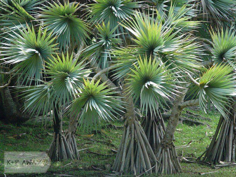 Spiral Palm Tree Types Flora Mauritius K P Away Palm Tree Types Backyard Plan Beautiful Yards