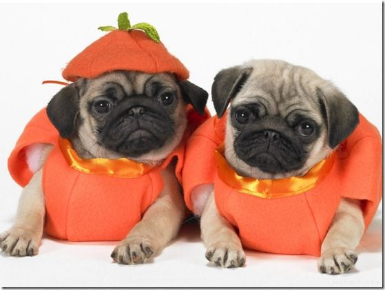 Hooray For Pumpkin Cute Pugs Pugs In Costume Pugs