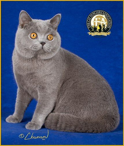 Gc Nw Chelsea Rose Higgins Blue Male British Shorthair 15th Best Cat In North America Japan Europe British Shorthair Cats Wild Cats British Shorthair