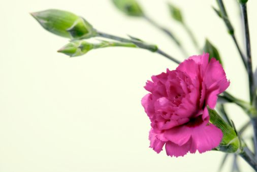 How To Get Seeds Out Of Carnation Flowers Hunker Carnation Plants Growing Carnations Flowers Perennials