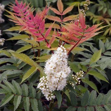 Sorbaria Sorbifolia Sem Sem Ural False Spirea Plants Garden Planning Flowers