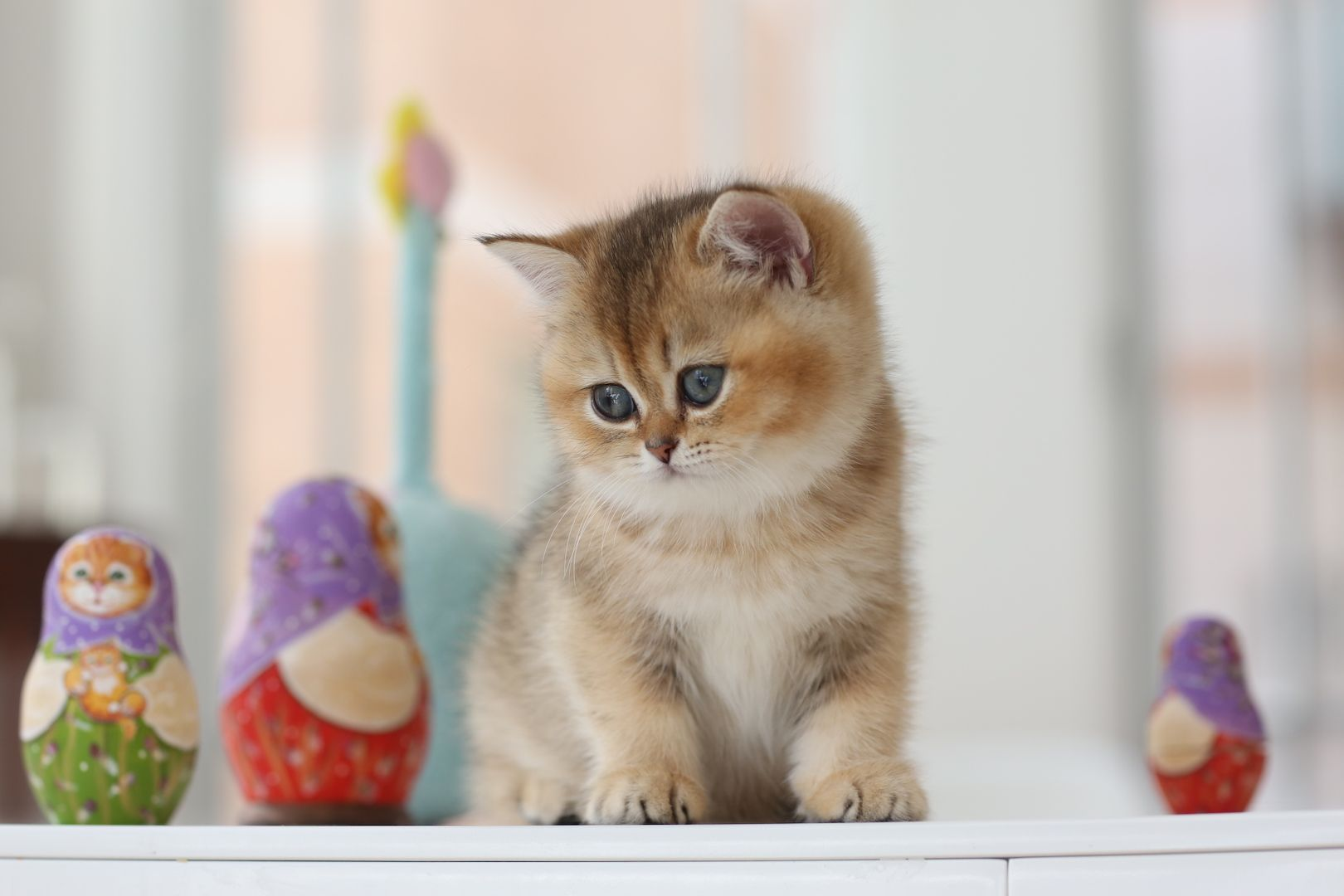 British Kitten Usa Russian Doll British Shorthair Kitten Golden Shaded Color With Green Eyes Fe British Shorthair Kittens British Shorthair Kitten For Sale