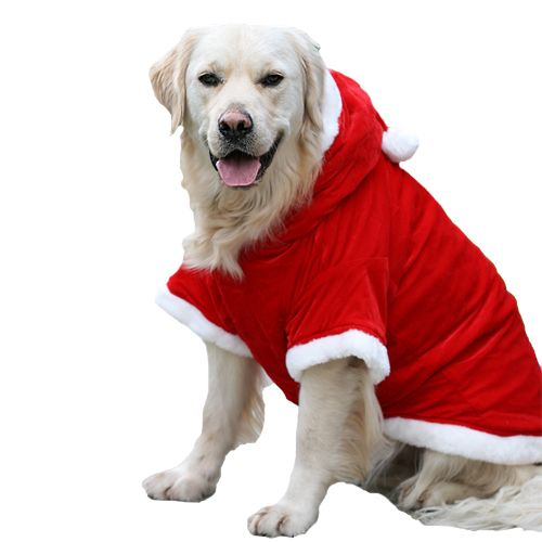 Santa Paws. Ollie the Golden Retriever is modelling this season's ...