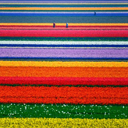 Tulip Field, North Holland, The Netherlands