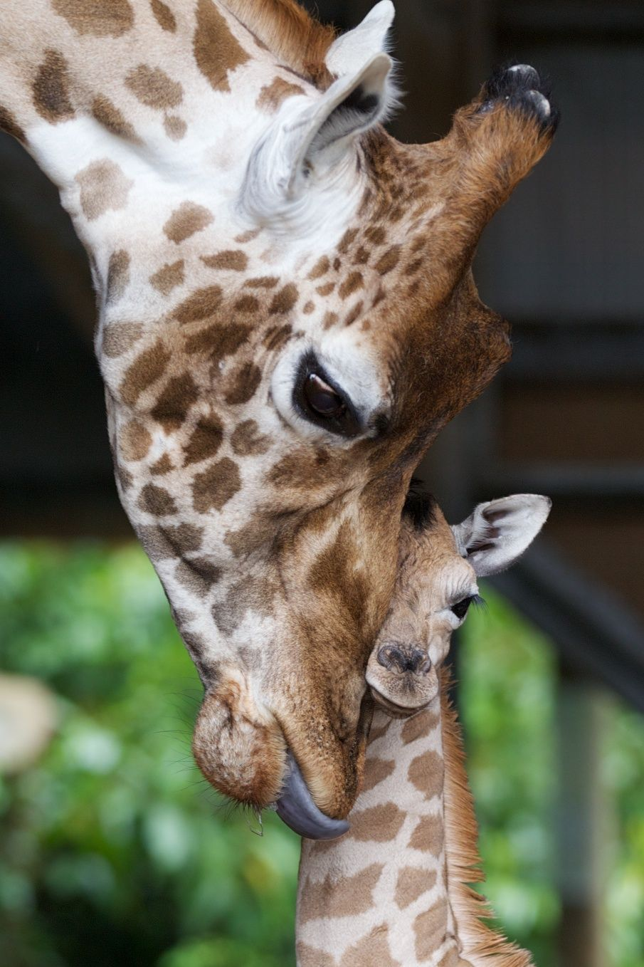 Giraffes spend much of their day feeding so nature has provided them with dark blue tongues to prevent them from getting sunburned!