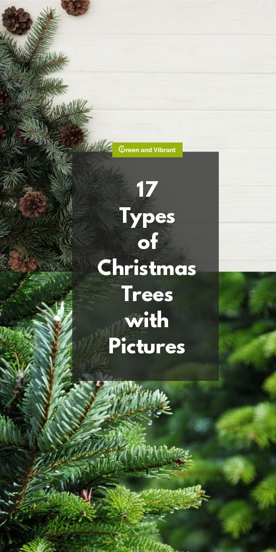 17 Types of Christmas Trees with Pictures (Real Trees You Can Get This Holiday)
