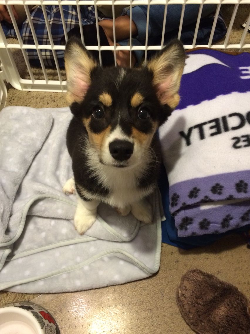 Meet My 13 Week Old Pembroke Welsh Corgi So Precious Corgi Pets Welsh Corgi