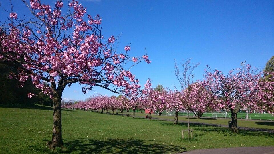 Glasgow Cherry Blossom Tree Back Gardens Cherry Blossom